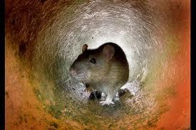 Rodents in Manhattan